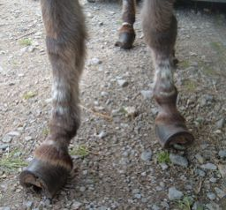 Aggie hooves