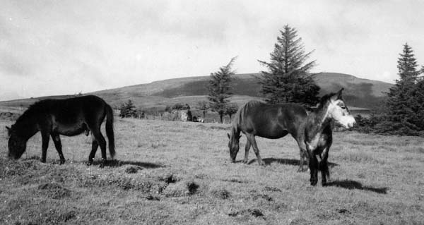 Peaceful ponies with the hill of Kesh behind