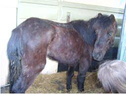 hill pony rescued from a mart