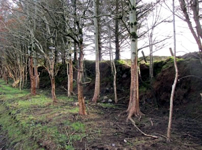 Damaged shelter belt trees