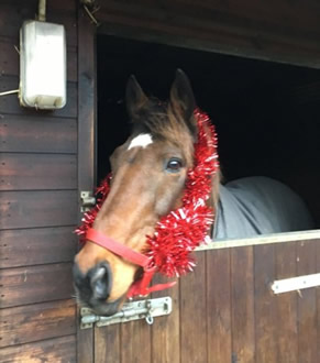 Torrin in Christmas headcollar in his stable